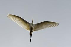 Great egret (kalakeli) Tags: greategret ardeaalba egrettaalba silberreiher rieselfeldermünster birds vögel oktober october 2018