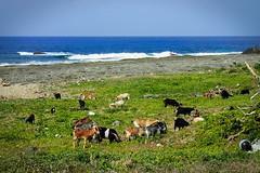 Lanyu - Troupeau (8pl) Tags: animal animaux troupeau mer océan ciel eau plage champ lanyu île taïwan