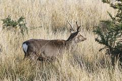 Arne 27-02-2015 72 (Matt_Rayner) Tags: arne deer stag
