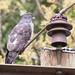 4.3e Forward Close (Kitisuru), African Cuckoo-hawk - Aviceda cuculoides verreauxii, KitisuruAugust 13, 201846