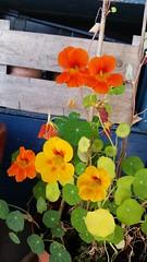 (Vallø) Tags: danmark denmark cameraphone aarhus århus odinsgaarden flower blomst orange gul yellow green grøn outside outdoor vallø 2014 tropaeolummajus tallerkensmækker blomsterkarse