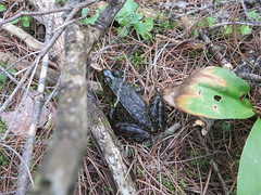 Green Frog (D. S. Hałas) Tags: halas hałas canada ontario nipissingdistrict algonquinprovincialpark pecktownship mizzylaketrail chordata sarcopterygii amphibia anura ranidae lithobatesclamitans ranaclamitans greenfrog frog