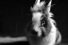 Réglisse en low key (uluqui) Tags: canon 6d sigma 50mm rabbit bunny animal portrait lowkey noiretblanc