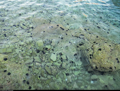 20170706_07 A shitload of spiky black sea urchins in shallow water, LIKE SO MANY BLACK HAMSTERS   Maslinica, Šolta, Croatia (ratexla) Tags: nonhumananimals ratexlasinterrailtrip2017 maslinica šolta croatia hrvatska kroatien 6jul2017 2017 canonpowershotsx50hs interrail interrailing eurail eurailing tågluff tågluffa tågluffning travel travelling traveling journey epic europe earth tellus photophotospicturepicturesimageimagesfotofotonbildbilder wanderlust vacation holiday semester trip backpacking tågresatågresor resaresor europaeuropean sommar summer ontheroad beautiful nature green black ocean sea marine hav havet water vatten animals invertebrate invertebrates evertebrat evertebrater animal nonhumananimal cute cool life organism biology zoology wildlife vilda djur ryggradslösadjur echinoderm echinoderms onthebeach
