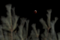 Blood Moon Through the Trees (brucetopher) Tags: full blood moon total lunar eclipse totaleclipse red sky skies night darkness luna nightsky celestial dark lunareclipse round circle satellite astro astrophotography astronomy orbit orb glow glowing disk disc ball heavens