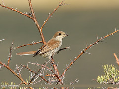 Red-backed Shrike (Lanius collurio) (gilgit2) Tags: avifauna birds borit canon canoneos7dmarkii category fauna feathers geotagged gilgitbaltistan gojal imranshah location pakistan redbackedshrikelaniuscollurio species tags tamron tamronsp150600mmf563divcusd wildlife wings gilgit2 laniuscollurio