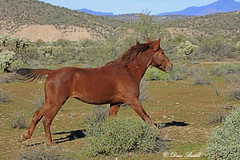 Looking for a fight (littlebiddle) Tags: wildlife mammal animal horse equine arizona saltriver