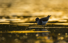 Gold sandpiper (mirosławkról) Tags: wildlife animal bird nature nikonnaturephotography 150600 water pond poland blue wild brodziec piskliwy common sandpiper silesia orange sunset
