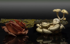 Fungi_1661-2 (Peter Warne-Epping Forest) Tags: fungi stilllife peterwarne macro closeup canon