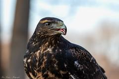 stolzer Blick (Ria Trouw) Tags: tierparkberlin tierpark berlin zoo blaubussard aguia raubvogel greifvogel