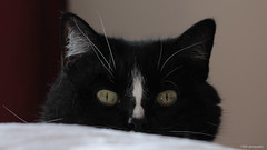 Hello OZ - Bye bye January, welcome February (Marie-Josée Lévesque) Tags: chat cat tuxedocat ozzy animal love