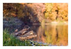 autumn (rcfed) Tags: hasselblad mediumformat digital color autumn water tree reflection gras
