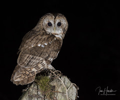Tawny Owl (Ian howells wildlife photography) Tags: ianhowells ianhowellswildlifephotography night nature naturephotography nationalgeographic unitedkingdom bird birdofprey bbcspringwatch canon canonuk flash springwatch wildlife wildlifephotography wales wild wildbird wildbirds