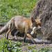 The mother fox, again with a hen