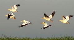 Morning Lift Off (Wayne Nelson) Tags: pelicans horiconmarshnwr waynenelson waterbirds waterfowl birdsinflight
