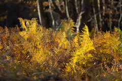 Low Sun - High Beach (ArtGordon1) Tags: eppingforest england uk autumn november 2018 davegordon davidgordon daveartgordon davidagordon daveagordon artgordon1 fern bracken