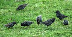 squabbling (Sue Wolfe) Tags: wales cymru meirionnydd ceredigion westwales nature autumn welshwildlifebreaks welshcoast coast birds birdwatching sea seashore sunset abertrinant tywyn wildlife
