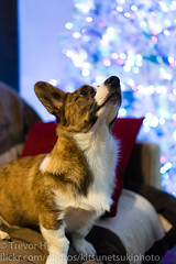 Holiday Test 1 (Kenjis9965) Tags: cardigan welsh corgi corgo pupper doggo sitting couch a7iii sonya7iii sonnar5518za sonnartfe1855 zeiss 55mm f18 za fe christmas holiday festive tree availablelight