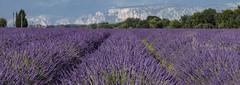 Provence et Lavande 05 (laurentconstantthierry) Tags: provence lavande valensole