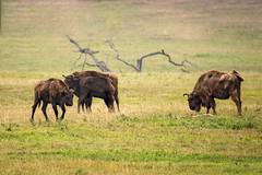 Der europäische Büffel - The european buffalo (ralfkai41) Tags: buffalo bisonbonasu bison wisent herd nature animals tiere tierpark sababurg outdoor herde natur büffel