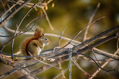 Keeper of the Seeds (flashfix) Tags: december152018 2018inphotos flashfix flashfixphotography ottawa ontario canada nikond7100 55mm300mm portrait bokeh branches nature redsquirrel squirrel rodent droplets rain tree mothernature animal fuzzy