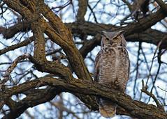 Great Horned Owl...#2 (Guy Lichter Photography - 4.4M views Thank you) Tags: canon 5d3 canada manitoba winnipeg wildlife animal animals bird birds owl owls greathornedowl