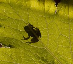 Pacific Tree Frog contrast leaf (iwanlewylle) Tags: pacifictreefrog