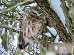 Owl You Need Is Love (Meryl Raddatz) Tags: owl bird nature naturephotography wildlife