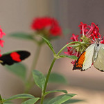 Giant Orange Tip & Erato heliconian butterflies thumbnail