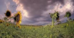 (474/18) Girasoles y nubes (Pablo Arias) Tags: pabloarias photoshop ps capturendx españa photomatix nubes cielo hierba planta árbolmoixent valencia