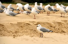 Seagulls (annewilson12) Tags: flock nature birdlife australia birds queensland sand seagulls seascape morningwalk seaside mooloolaba wildlife