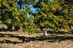 Ice the Dog guarding the family grove in Penela da Beira, Viseu (Gail at Large | Image Legacy) Tags: 2018 peneladabeira portugal viseu gailatlargecom icethedog