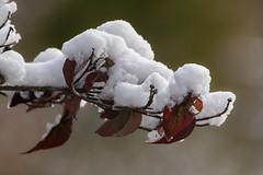 First snow (Lynn Tweedie) Tags: sigma150600mmf563dgoshsm leaves white 7dmarkii winter canon snow