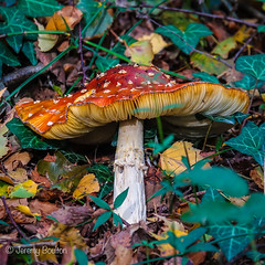 Aging Agaric (JKmedia) Tags: nature macro mushroom toadstool fungi fungus growth green produce moss boultonphotography closeup decay autumn endofseason mycology pattern texture detail grass slimy caps woods southdevon flyagaric amanitamuscara spots veil 2018 sonyrx10iii