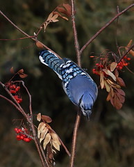 IMG_0741 Geai bleu, Roberval (joro5072) Tags: animal nature oiseau bird jay geai
