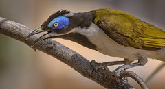 alice river - blue-faced honeyeater (Fat Burns ☮) Tags: bluefacedhoneyeater entomyzoncyanotis bird australianbird fauna australianfauna nikond500 nikon200500mmf56eedvr aliceriver barcaldine nature outdoors honeyeter australianhoneyeater