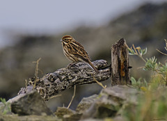 Reed Bunting Female (ianbartlett) Tags: outdoor mist murk wildlife nature birds seal bull water river pylons colour loght