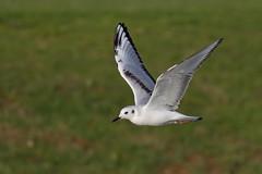 Bonaparte's Gull (Chroicocephalus philadelphia) (SharifUddin59) Tags: bonapartesgull gull bif bird birdinflight flying chroicocephalusphiladelphia chroicocephalus philadelphia hawaiiprincegolfclub ewa oahu hawaii