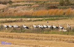 CIGÜEÑAS (manu691) Tags: aves pàjaros cigüeñas migratorias