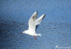 Je ne fais que passer 😉 (Jean-Daniel David) Tags: oiseau oiseaudeau mouette eau bleu blanc lac lacdeneuchâtel réservenaturelle vol envol yverdonlesbains suisse suisseromande volatile closeup grosplan