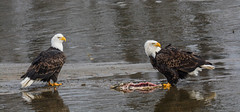 something going on over there !!! (wesleybarr1962) Tags: eagles baldeagles haliaeetusleucocephalus