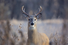 Cannot Speak (karenhunnicutt) Tags: whitetaildeer winter nature wildlife karenhunnicuttphotographycom minnesota minneapolisfineartphotographer stateparks
