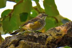 Yellow-rumped Myrtle Warbler (Setophaga coronata coronata) (R-Gasman) Tags: travel bird yellowrumpedmyrtlewarbler setophagacoronatacoronata inglewoodbirdsanctuary calgary alberta canada