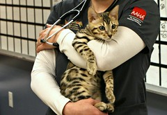 There are Bengals, and then there are BENGALS! (Kerri Lee Smith) Tags: bengal bengalcats felines vet veterinarian snickers