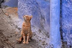 A la recherche des poissons volants.. (Olivier Simard Photographie) Tags: maroc morocco chefchaouen chefchaouèn rif massifdurif médina medina bleu blue azul achawen chaouen الشاون شفشاون ⵜⵛⴻⴼⵜⵛⴰⵡⴻⵏ chat cat gato rifmountain sebbanine afriquedunord maghreb berbère berber sommeil sleep sieste rest afrique africa chatte animal félin greffier fourrure pelage pussycat feline red lovely redhead fur roux