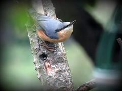 Nutty the Nuthatch (Deida 1) Tags: nuthatch bird garden uk staffordshire sittaeuropaea