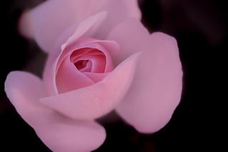 séduction rose