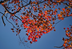 Fall Foliage (bacon.dumpling) Tags: arashiyama autumn fallfoliage fujifilmxpro2 fujinonxf56mmf12rapd japan koyo kyoto leafchangingseason