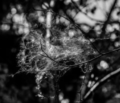 """""""The Ghostly Tree"""" Captured by the patterns of the web, captured by the necessity and dependence of the web. (Frederik0711) Tags: natureandnothingelse ghostly tree ghostlytree cobweb cobwebs web webs caterpillar caterpillars infestation infestations denmark danmark copenhagen københavn blackandwhite blackwhite black white nature naturephotography surreal surrealistic trees cobwebtree spooky"""