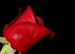 Recebe a flor que eu te dou... (Zéza Lemos) Tags: rosas rose rosa drops drop gotas jardim jardins flores flor flowers portugal algarve água vilamoura vermelho